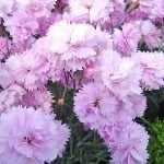 Dianthus Pike's Pink  AGM