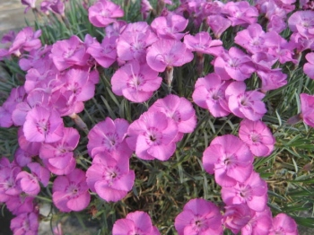 Dianthus Whatfield Joy