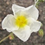 Helianthemum The Bride  AGM