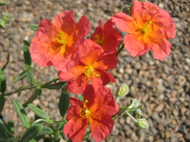 Helianthemum Fire Dragon  AGM