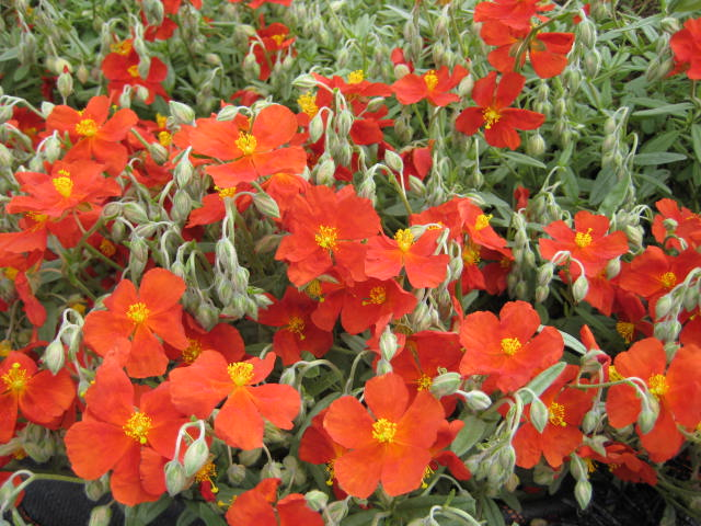 Helianthemum Henfield Brilliant  AGM