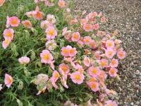 Helianthemum Rhodanthe Carneum