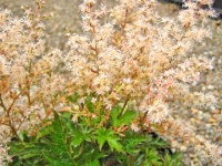 Astilbe Willie Buchanan