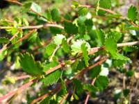 Betula nana 'Glengarry'