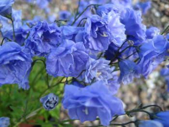 Campanula cochlearifolia 'Blue Wonder'