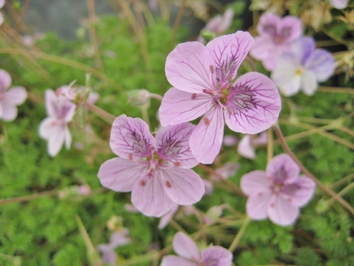 Erodium Spanish Eyes
