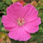 Geranium sanguineum 'Jubilee Pink'