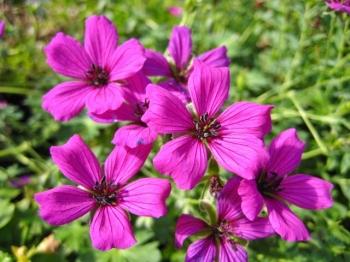 Geranium subcaulescens 'Giuseppii'