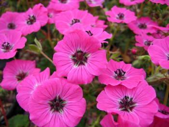 Geranium subcaulescens 'Splendens'