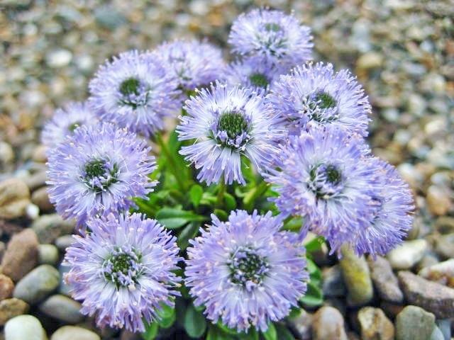Globularia meridionalis 'Blue Bonnets'
