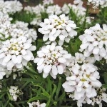 Iberis sempervirens 'Weisser Zwerg' (syn. 'Little Gem')