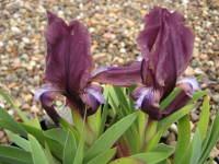 Iris suaveolens