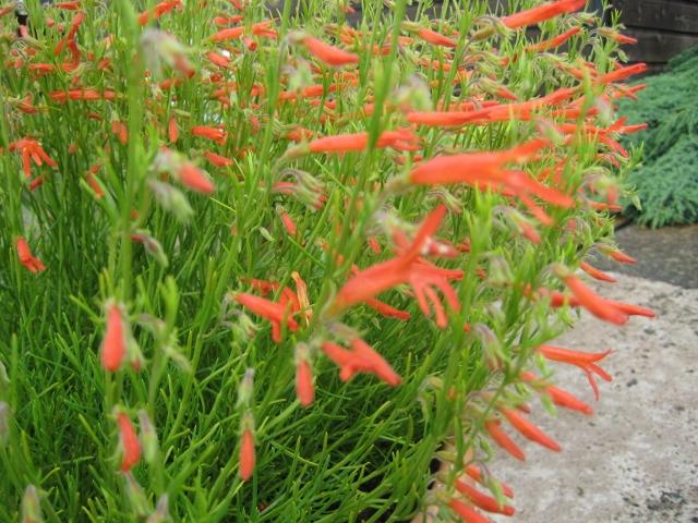 Penstemon pinifolius 'Wisley Flame'