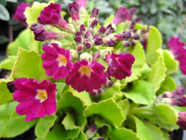 Primula x pubescens 'Faldonside'