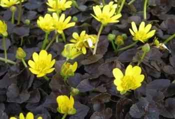 Ranunculus ficaria 'Brazen Hussy'