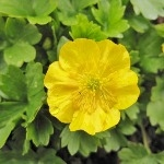 Ranunculus montanus 'Molten Gold'  AGM