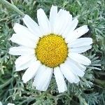 Rhodanthemum hosmariense  AGM