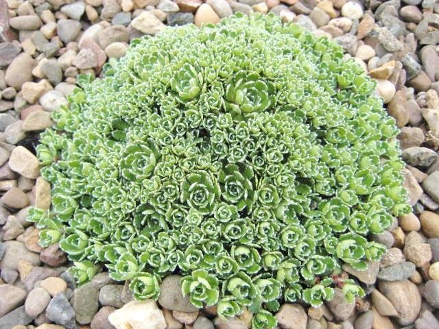 Saxifraga paniculata 'Lagraveana'