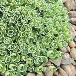 Saxifraga paniculata 'Lagraveana'  AGM