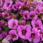 Saxifraga oppositifolia 'Wetterhorn'