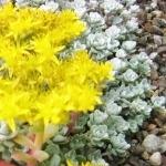 Sedum spathulifolium 'Cape Blanco'  AGM