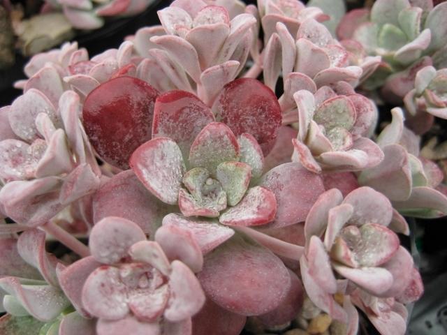Sedum spathulifolium 'Purpureum'  AGM