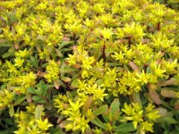 Sedum Weihenstephaner Gold