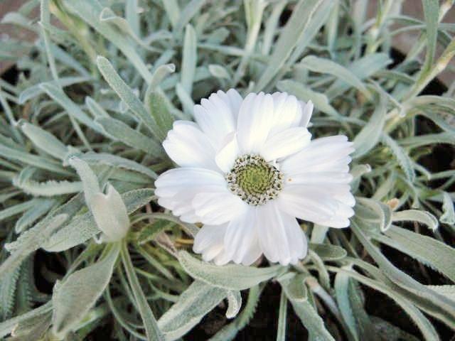 Achillea ageratifolia  AGM
