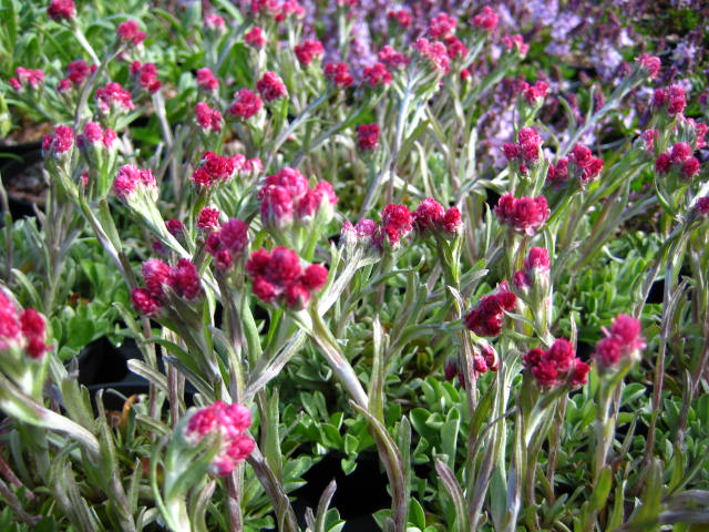 Antennaria dioica 'Rotes Wunder'