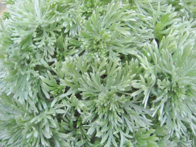 Artemisia schmidtiana 'Nana'