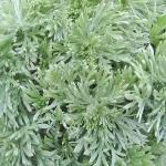 Artemisia schmidtiana 'Nana'  AGM