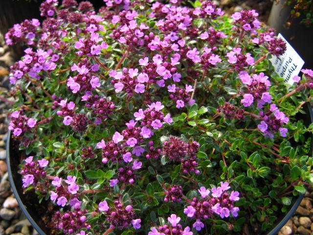 Thymus Purple Beauty (Coccineus Group)