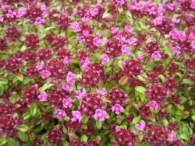 Thymus Red Carpet