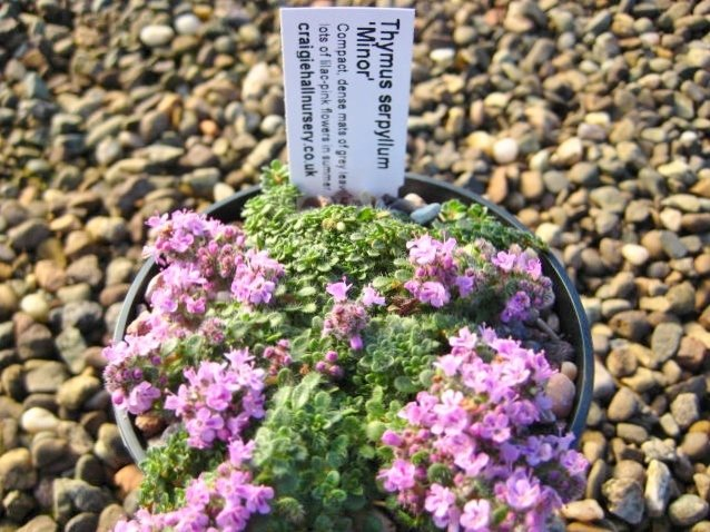 Thymus serpyllum 'Minor'