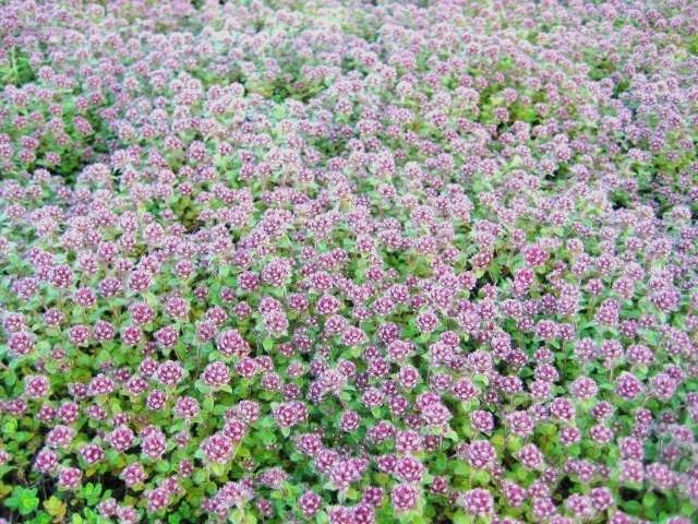 Thymus serpyllum 'Pink Chintz'  AGM