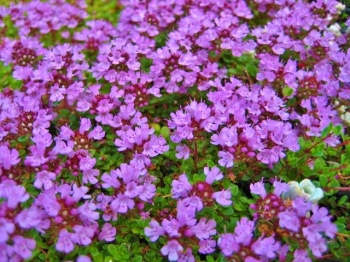 Thymus serpyllum 'Russetings'
