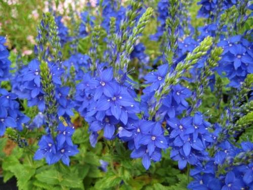 Veronica austriaca ssp. teucrium 'Kapitan'