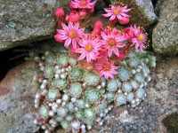 Sempervivum arachnoideum tomentosum  AGM