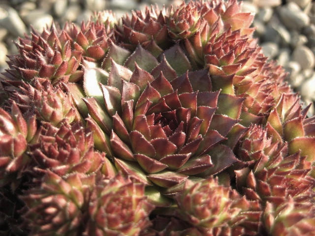 Sempervivum Bronco (August)
