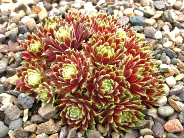 Sempervivum Sunburst (April)