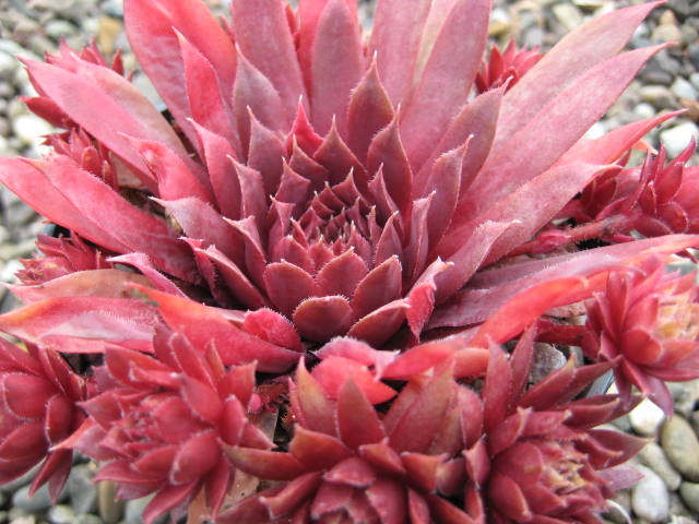 Sempervivum Royal Ruby (July)