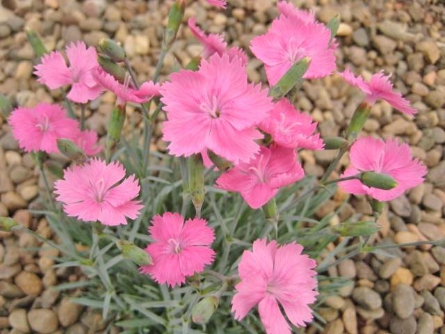 Dianthus Freda Woodliffe
