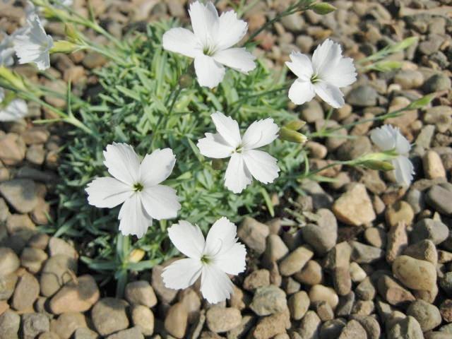 Dianthus La Bourboule Alba
