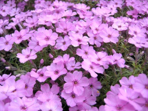Phlox douglasii 'Rose Cushion'