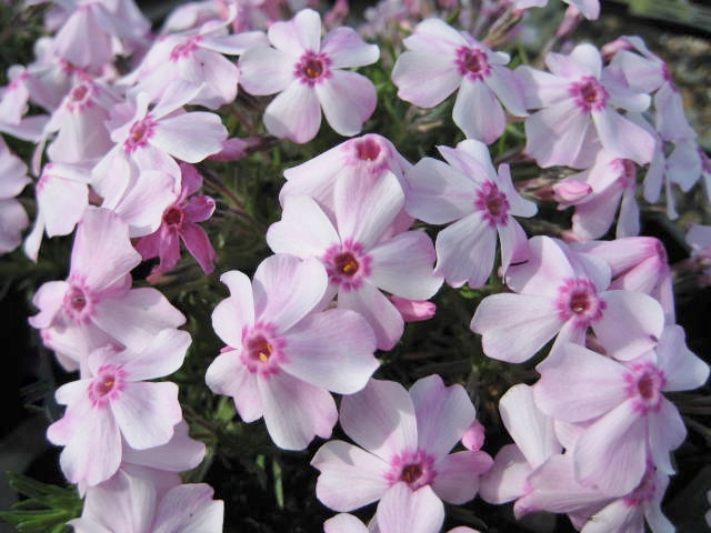 Phlox Kelly's Eye  AGM