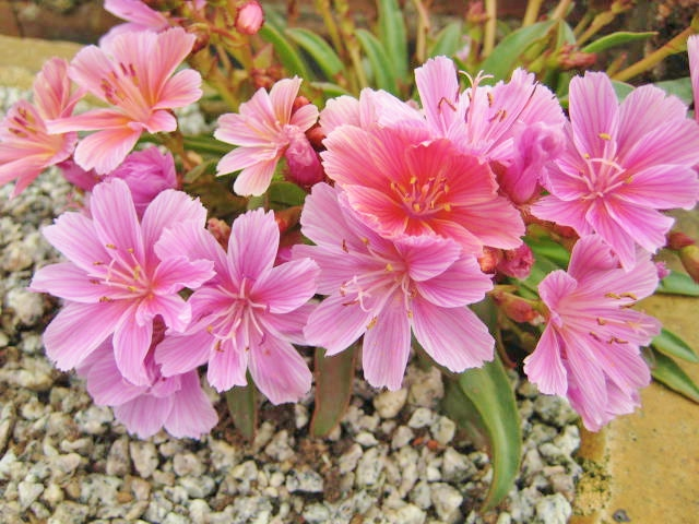 Lewisia Little Plum