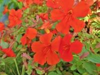 Mimulus cupreus 'Whitecroft Scarlet'  AGM