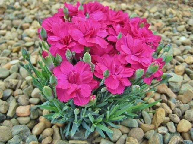 Dianthus Annette