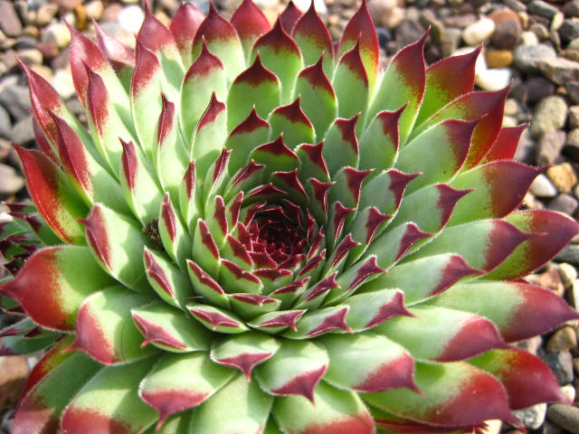 Sempervivum Extra  (July)
