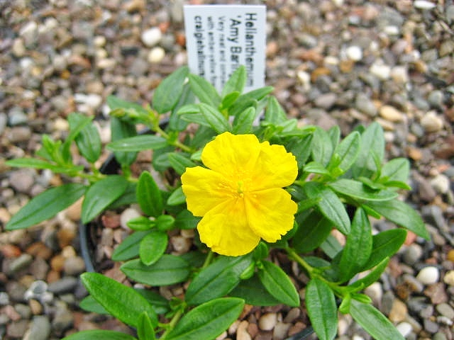 Helianthemum \'Amy Baring\'  AGM